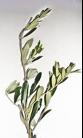 Maslinova grančica